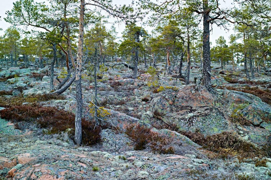 Att vara tall på Skuleskogens hällmarker är tufft.